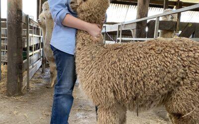 Meet young alpaca judge Christie Hayward (NSW)