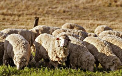 Australia's most talented young judges of Merino sheep